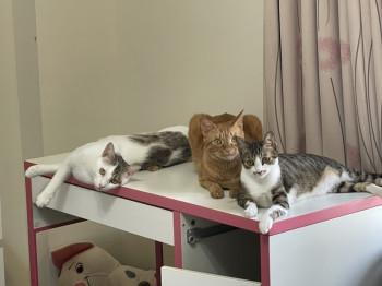 橘貓-可可 ;白貓-粉圓;灰斑貓-可麗餅
