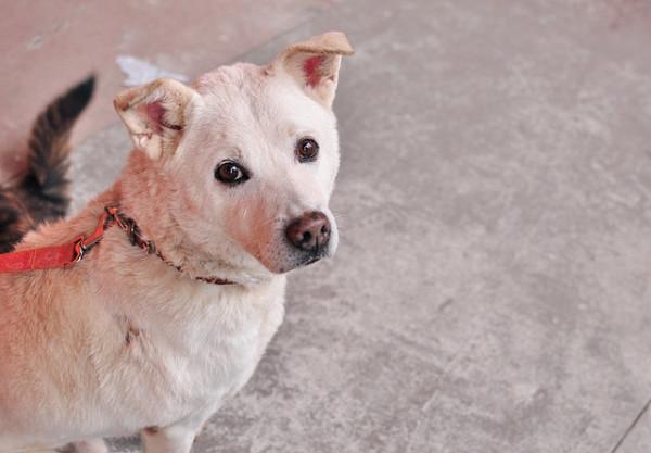 狗狗認養-宛若一隻白色熊麻吉 - 龍龍