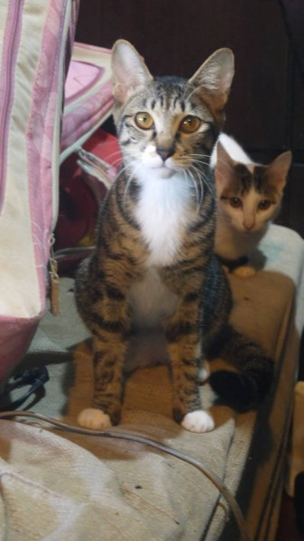 緊急認養可愛8個月大虎斑貓