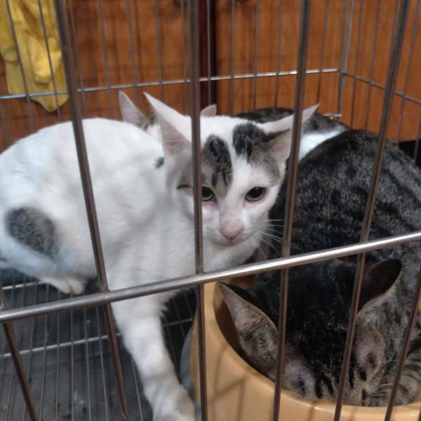 緊急認養8個月大黑白母貓