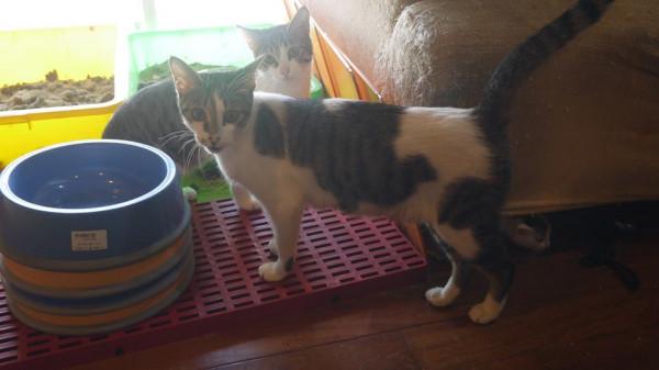 緊急認養5歲超撒嬌&隨便的母貓