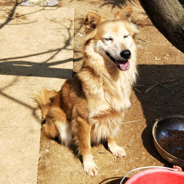混黃金獵犬-原來是美男