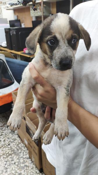 可愛米克斯幼犬 / 兩個月/ 公