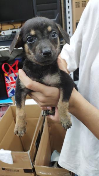 可愛米克斯幼犬 / 兩個月/ 母