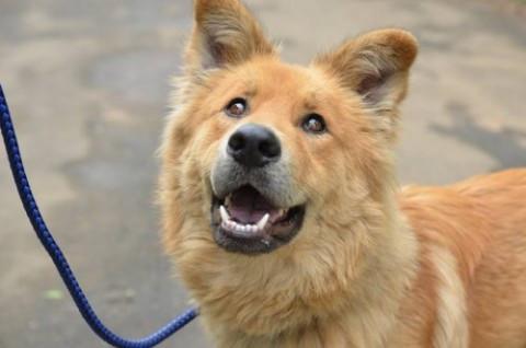高挑 帥氣的大型犬萊恩 歡迎認養!