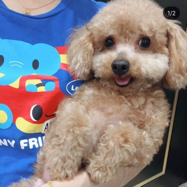 泰迪貴賓公犬10歲 淺棕