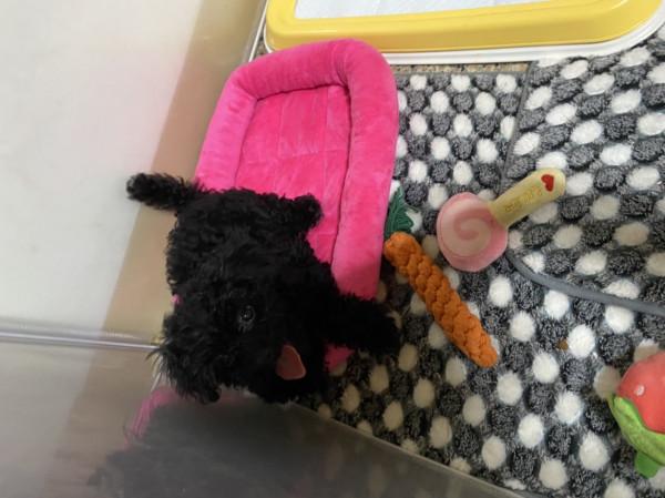 黑貴賓幼犬