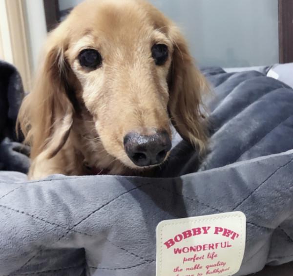 送養長毛臘腸犬