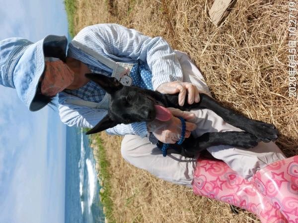 6月齡女生 嬌小台灣犬