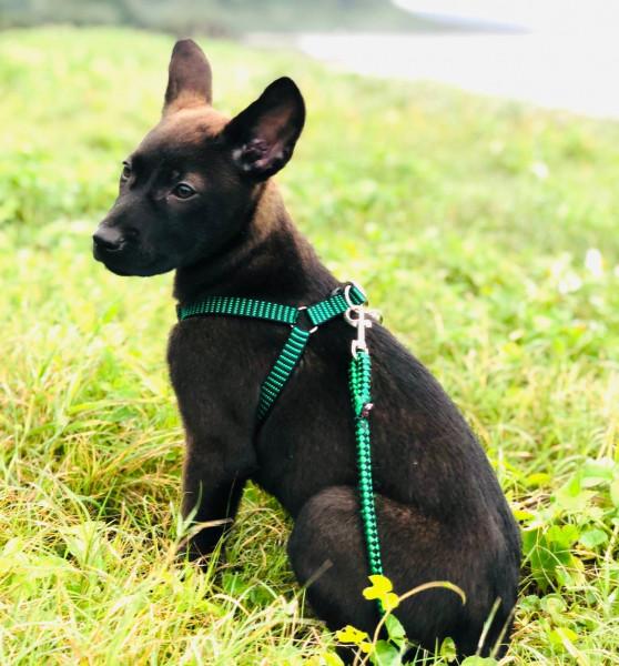 古銅色四月齡活潑幼犬