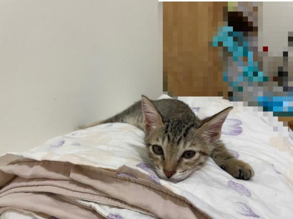可愛的小虎斑尋找溫暖的家