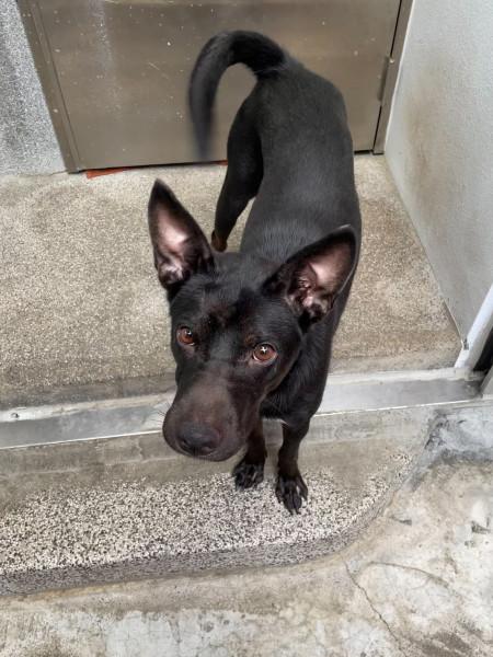 年輕黑狗米克斯找新家