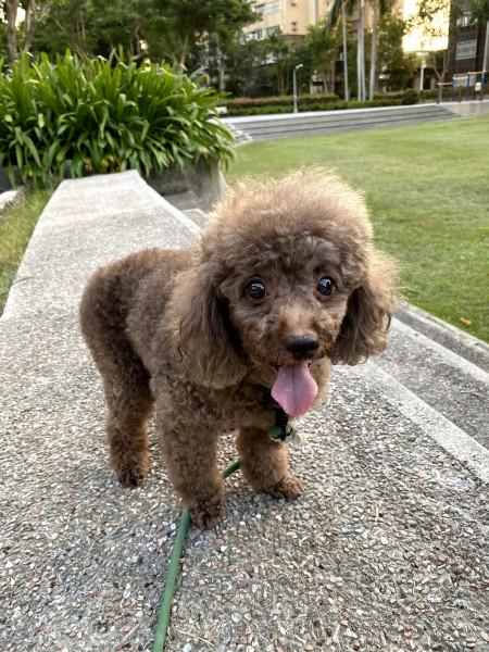 小型犬送養 咖啡灰貴賓犬